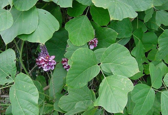 Hoa của cây sắn dây